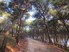 Postira, borovi - Postira, the pine trees (Hirike) Tags: croatia hrvatska bra postira bor pinetree
