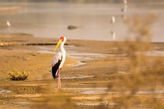 In a pensive mood (malc1702) Tags: yellowbilledstork stork birds largebirds nature migration migratorybirds beautifulbirds colourfulbirds nikond7100 tamron150600 beauty longleggedbirds longlegs flickrunitedaward