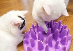 My kitty is smart! #nosework #smartcat #goboogi #chobee #munchkin #cat # # # # # # # (Goboogi.Munchkin) Tags:   smartcat  goboogi  munchkin nosework  chobee  cat