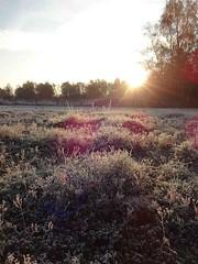 Frost auf den Sedumflächen (NIRA GmbH) Tags: sedum frost winter greenroof gründach