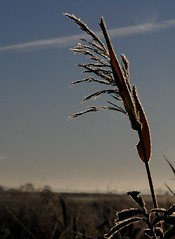 An der Treene an einem frostigen Morgen - bereifter Schilfrohr-Fruchtstand (Phragmites australis) im Gegenlicht; Norderstapel, Stapelholm (41) (Chironius) Tags: stapelholm norderstapel schleswigholstein deutschland germany allemagne alemania germania  szlezwigholsztyn niemcy reif commeliniden ssgrasartige poales ssgrser poaceae schilfrohre gras grser herbe gramines grass grasses erba   reet schilf phragmites gegenlicht morgen morning