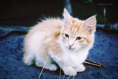hola! (Conserva tus Colores) Tags: cat catlovers chile portrait animales animals ternura nature conservatuscolores photographers canon mascota beautiful retrato 50mm