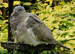 Young, wet and cold. (Jicardee29) Tags: pigeon baby garden feathers wet droplets fluffy