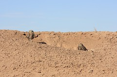 Burrowing Owl (Athene cunicularia) (Camden S. Bruner) Tags: imperialcounty ca california burrowingowl athenecunicularia