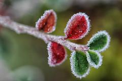 ça sent Noël! (jjcordier) Tags: feuille givre froid vert rouge hiver macro profondeurdechamp