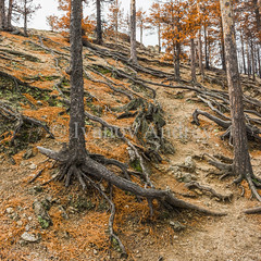 The roots of pine trees on a steep mountain slope (Ivanov Andrey) Tags: hill slope sunset cliff tree pine pineforest forest larch conifer trunk stone boulder bark treeroot descend climb branch moss grass bush sky sand river beach orange sun evening landscape ascent descent shadow nature travel tourism lakebaikal russia