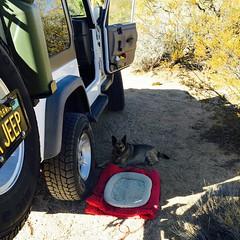 Desert Dogs Don't Need No Bed.... (simbajak) Tags: mojave desert mojaveroad jeep wrangler dog mojavenationalpreserve california explored