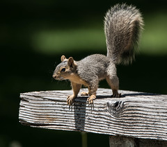 Daily Dose of Cute - explored (maytag97) Tags: maytag97 squirrel mammal cute contrast dof fluffytail board bench table tamron 150600 150 600 explore explored inexplore nikon d750