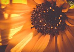 Cozy (Elena L-v) Tags: sunflower backlit petals yellow