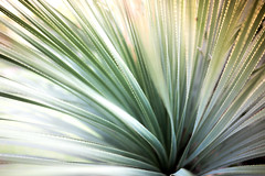 prickly beauty (zenofar) Tags: nikon d810 sigma 35mm 14 art dof bokeh green grn stachel spikes pflane stripes streifen
