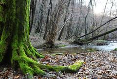 La terra bagnata rilascia i suoi aromi, ma più di tutti si sente  il profumo di muschio bagnato (illyphoto) Tags: bosco foresta autunno autumn valbasca photoilariaprovenzi illyphoto muschio fiume