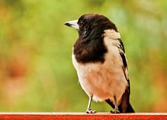 Pied butcherbird (4 of 22) (Daniela Parra F.) Tags: aves birds butcherbird piedbutcherbird australia queensland southeastqueensland birdsofaustralia australianwildlife aussiebirds australianbirds wild wildlife springbrook subtropical rainforest mountainrainforest springbrooknationalpark