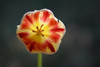 Inside a tulip №2 (Funchye) Tags: blomst flower 105mm d610 nikon tulipan tulip