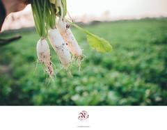 白玉蘿蔔田系列 (楚志遠) Tags: nikon sigma 35mm f14 art 楚志遠 凍先生 美濃 高雄 田 蘿蔔 白玉 採收