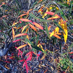 Berberis Sanguinarea (melystu) Tags: leaves plant shrub berkeley uc botanicalgarden winter sun bloodred sanguinarea berberis barberry
