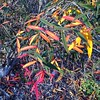 Berberis Sanguinarea (Melinda Stuart) Tags: leaves plant shrub berkeley uc botanicalgarden winter sun bloodred sanguinarea berberis barberry