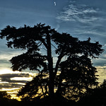 Highclere Tree