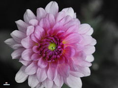 Dahlia (FotoCheez) Tags: seattle christmas camera city bridge family flowers blue autumn winter friends light red summer test horse music house lake fish flower color macro building green bird art fall ice beach dogs girl beautiful grass leaves animal animals rock fog architecture clouds barn forest butterfly river garden walking landscape fun boats island happy fire coast boat washington leaf spring rocks pretty close eagle hiking working prism screen hike bugs bee refraction seahawks fx honeybee fotocheez
