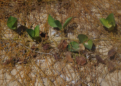 Cassytha filiformis on Canavalia rosea and Ipomoea pescaprae, Pallarenda Beach, Townsville, QLD, 10/08/15 (Russell Cumming) Tags: plant queensland fabaceae townsville convolvulaceae ipomoea canavaliarosea pallarenda lauraceae ipomoeapescaprae canavalia cassytha cassythafiliformis pallarendabeach