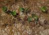 Cassytha filiformis on Canavalia rosea and Ipomoea pescaprae, Pallarenda Beach, Townsville, QLD, 10/08/15 (Russell Cumming) Tags: plant queensland fabaceae townsville convolvulaceae ipomoea canavaliarosea pallarenda lauraceae ipomoeapescaprae canavalia cassytha cassythafiliformis pallarendabeach