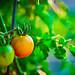 150913-tomato-ripening-growing.jpg