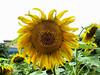 Gira-sol (ester68) Tags: france frança francia tournesol girasol smörgåsbord jardinbotaniquehenrigaussen muséumtoulouse