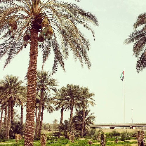 The date palms in its natural environment at Dhaid Farm.  #LifeinSharjah #datepalms #uaeflag #dhaid #uae