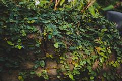 Green. (Bokeh Eyes) Tags: plants plant green nature beautiful vines pretty