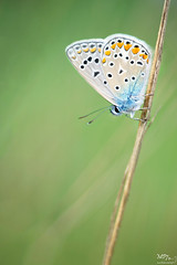 Polyommatus icarus (MP7Aquit) Tags: nature animal butterfly insect wildlife sony full bleu papillon frame 28 animaux tamron 90 ff insecte argus invertebrate bague a7ii 24x36 lpidoptre invertebrado commun 7ii azur tamronspaf90mmf28dimacro invertbr 7mk2 laea4 sonylaea4 sonya7ii sonya7mk2 sonyilce7m2 sonyalpha7mark2 sonyalpha7ii