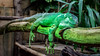 Green Chameleon (tim-wolverson) Tags: france green animal zoo lazy asleep chameleon normandy cerza cerzazoo