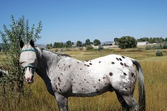 Who is that Masked Horse? (Let Ideas Compete) Tags: horses horse rural countryside appaloosa colorado longmont spotted bouldercounty spottedhorse