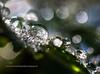 Prism Droplets (jeanmarie's photography) Tags: macro nature sunshine closeup dewdrops droplets nikon bokeh prisms waterdrops upclose ladysmantle natureabstract jeanmariesphotography jeanmarieshelton jeanmariesphotographysmugmugcom