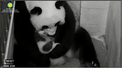Bei-Thanking mom with a lick (partipersian) Tags: mom mei pandas bei meixiang pandacub beibei