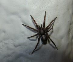 Parson Spider (HeidiG71) Tags: nature spider colorado wildlife arachnid arthropod parsonspider herpyllus arachtober