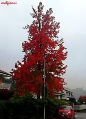 rosso chevrolet (archgionni) Tags: auto street autumn homes red tree leaves car foglie garden strada case autunno rosso giardino
