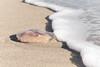 (lemank) Tags: beach jellyfish aureliaaurita