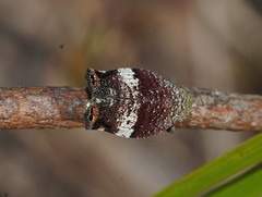 Colourfull Tree Hopper top (ron_n_beths pics) Tags: westernaustralia hemiptera treehoppers