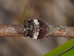 Colourfull Tree Hopper top (ron_n_beths pics) Tags: westernaustralia hemiptera treehoppers