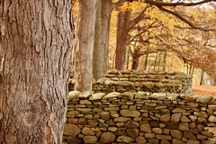 Wall Among Maples (HorsePunchKid) Tags: andygoldsworthy stormkingartcenter
