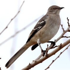 IMG_9214-1 Northern Mockingbird (John Pohl2011) Tags: bird canon john 100400mm pohl perching t4i 100400mmlens canont4i