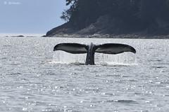Whale Fluke fall 425 (Gillfoto) Tags: tail whale humpback fluke