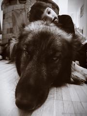 11/12 Diesel - Brothers2 (Nick Mitha) Tags: boy dog wolf good shepherd gray german alsatian gentle gsd 12monthsfordog15 aguouti