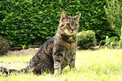 Mein geliebter Sunny. Er war der Boss in der ganzen Gegend / My sweetheart Sunny. He was the Boss of the whole area. (hazelcat7) Tags: cats cute cat outdoor sunny garten 2009 sohn samtpfoten drausen