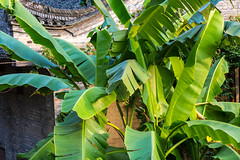 Banana plant (Bridgetony) Tags: china asia southeastasia guilin yangshuo banana karst guanxi asiapacific