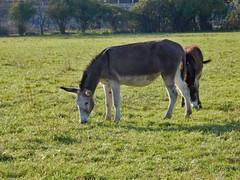 elogio dell'asino (mariarita.g) Tags: elogio asino 2015 elogiodellasino