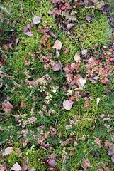 Soft Grounds (caprilemon) Tags: ruegen rgen island germany forest woods moss floor soft heath