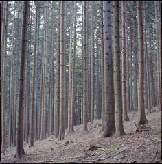 Slovenian forests (steve-jack) Tags: slovenia forest hasselblad 501cm 50mm fujicolour 100 film medium format fuji 120 6x6