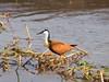 Blaustirn-Blatthühnchen (gartenzaun2009) Tags: botswana moremireservat tier vogel blaustirnblatthühnchen standvogel