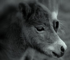 """ With my Mother "" (Kalbonsai) Tags: pferde horsehead nikon d5100 55300mm paarden veuln foal pony monochrome bw closeup"