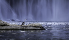 LRcopy-1957 (jazzjohnson013) Tags: heron wildlife kentucky cumberland falls waterfalls
